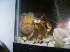 White hermit crab coated with algae