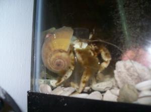 White hermit crab coated with algae