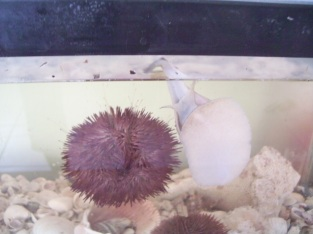an urchin attached to the side of my aquarium