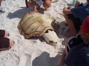 Loggerhead carapace and skull