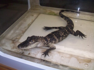 Alligator in the interpretive center