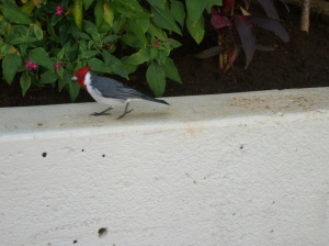 Red=crested Cardinal