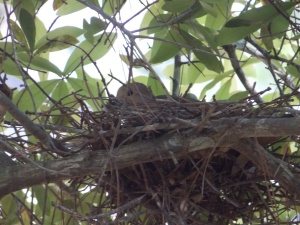 dove nest 002 (c) eileensaunders