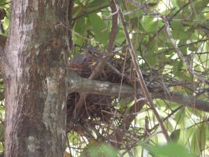 dove nest 006 (c) eileensaunders